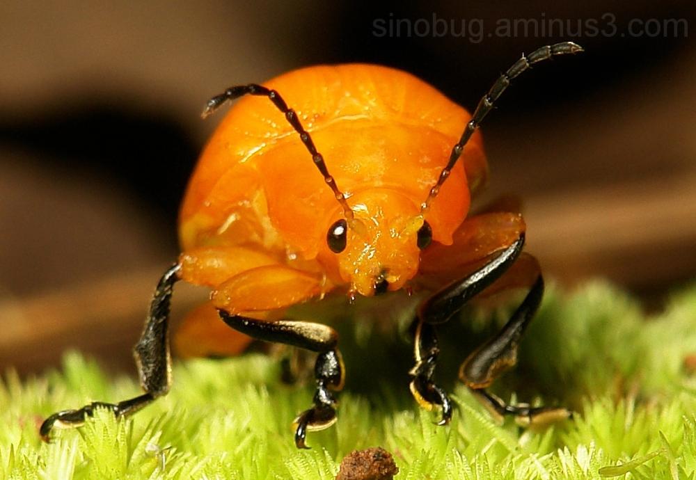 macro China Golden Leaf Beetle Podontia lutea