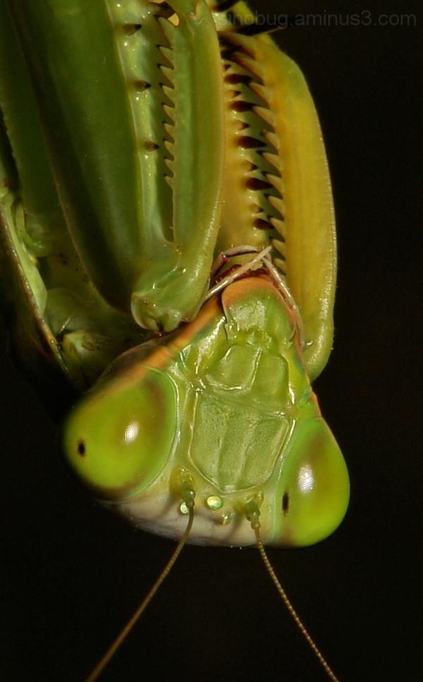 macro China Praying Mantis Hierodula