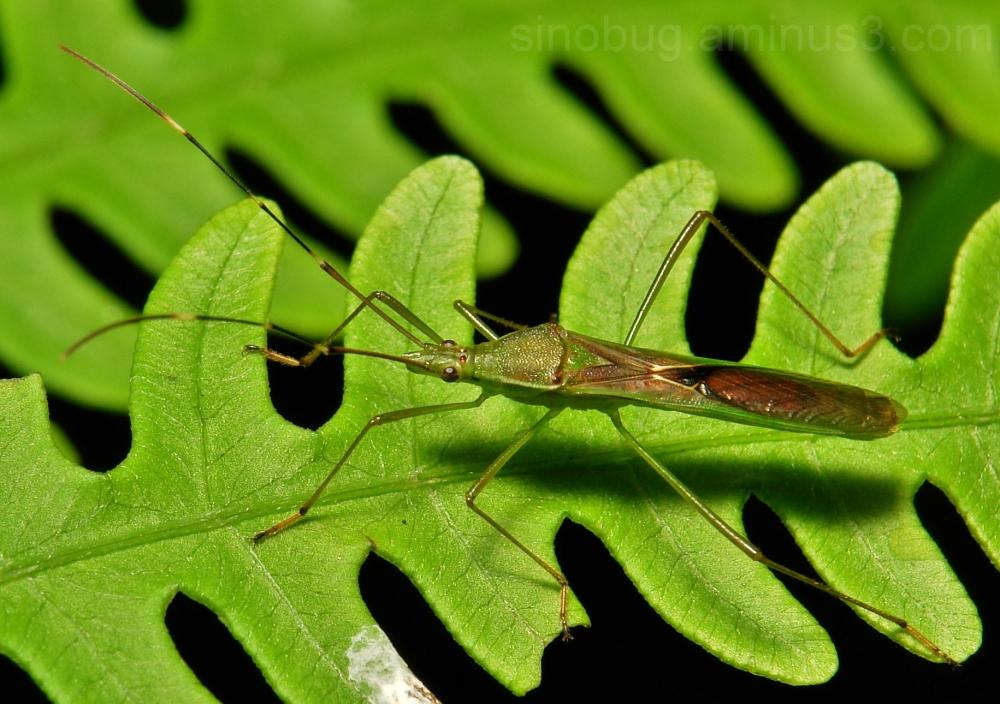 Slender Rice Bug Leptocorisa Alydidae China