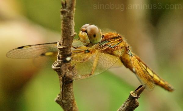 macro dragonfly China palpopleura sexmaculata