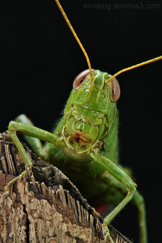 macro China grasshopper locust Orthoptera