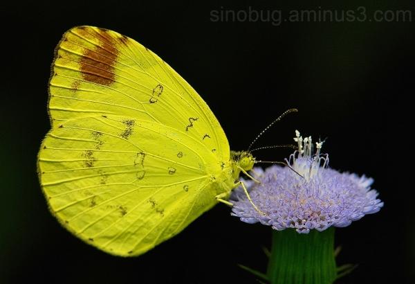 Grass Yellow Eurema hecabe Pieridae China