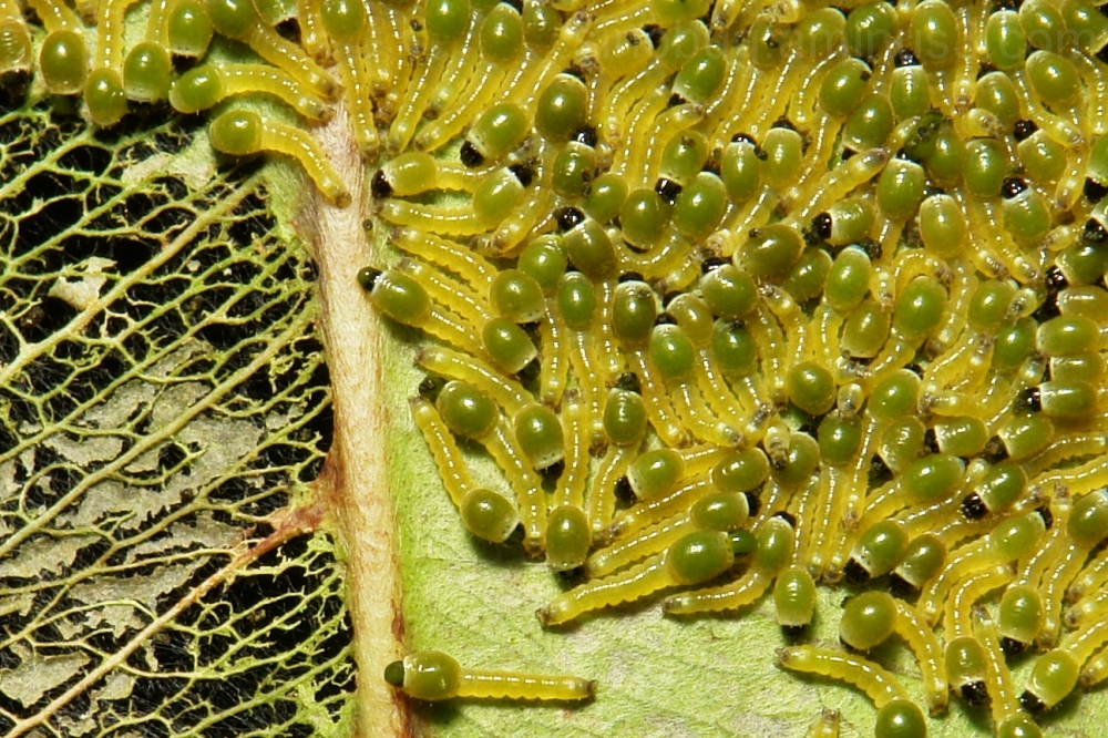 macro China Carea moth larva caterpillar