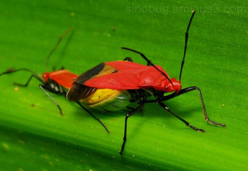 macro China Hemiptera bug Antilochus coqueberti