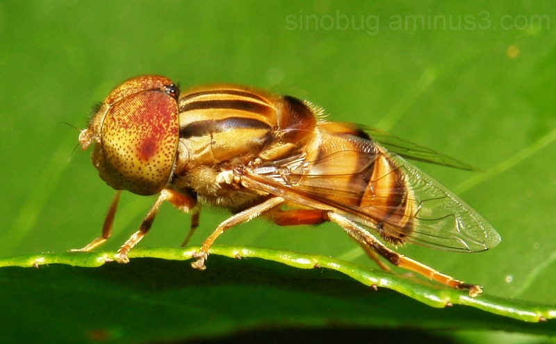 Hover Fly Eristalis arvorum China macro