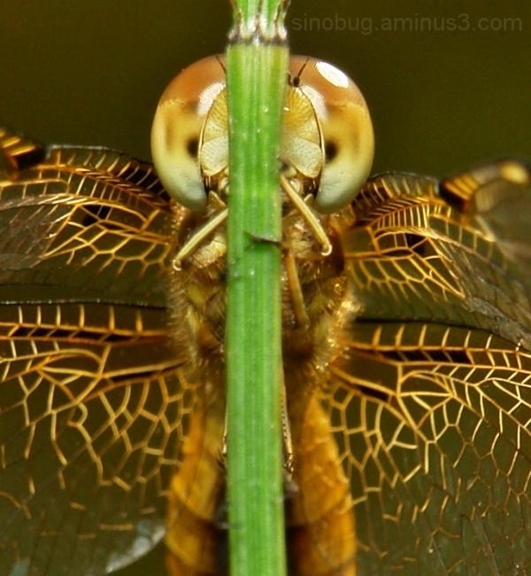 Asian Widow Palpopleura sexmaculata dragonfly