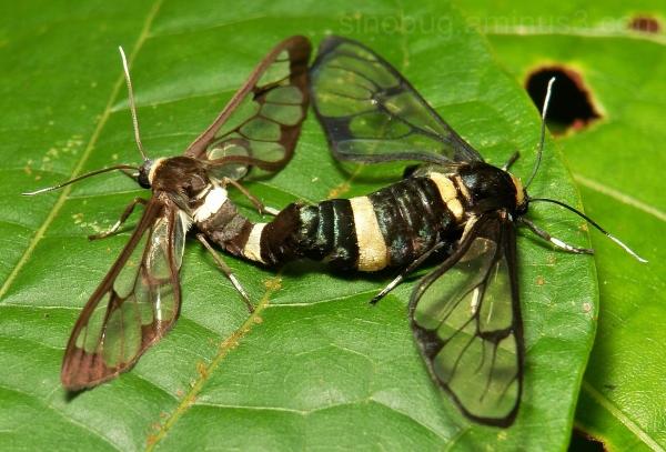 Handmaiden Moth Ceryx imaon China