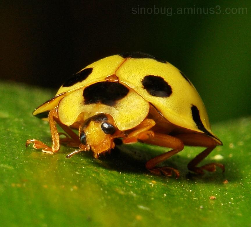 Ladybird Coccinellidae China yellow beetle