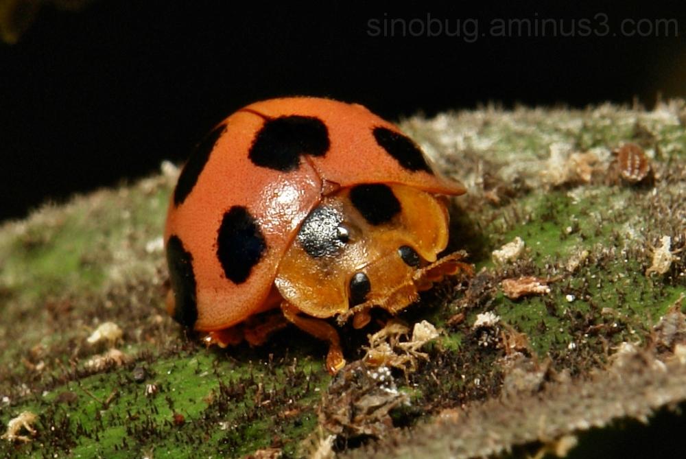 Ladybird Coccinellidae macro China aphid