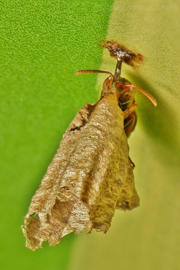 Solitary Paper Wasp Vespidae nest Hymenoptera