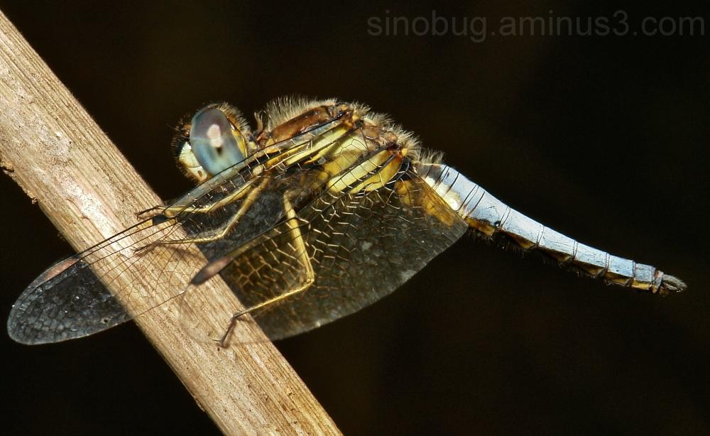 Blue-Tailed Yellow Skimmer Palpopleura sexmaculata