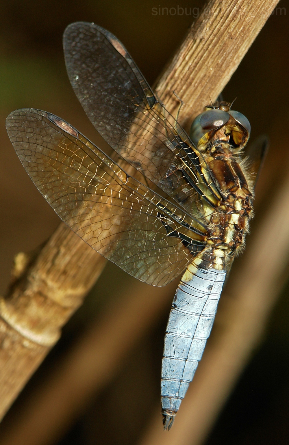 Blue-Tailed Yellow Skimmer Palpopleura sexmaculata
