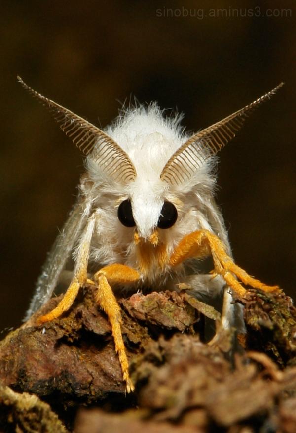 Tussock Moth Lymantriidae China