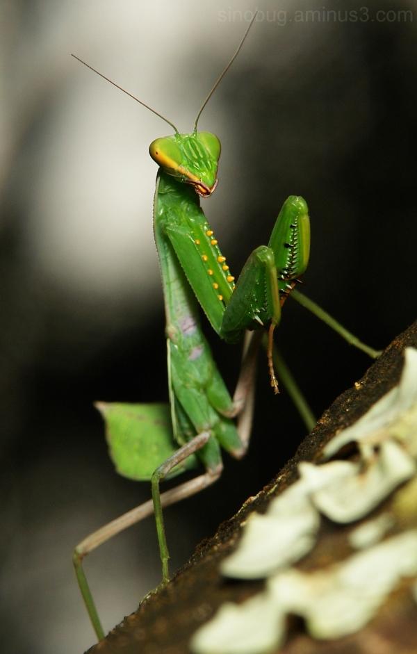 China praying mantis