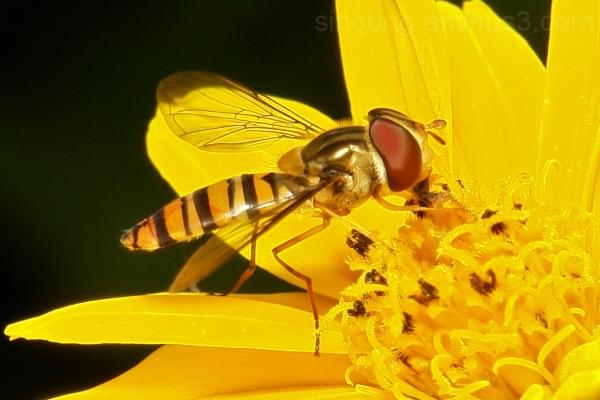 Marmalade Hoverfly Episyrphus balteatus China