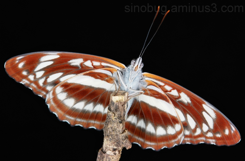 Staff Sergeant Athyma selenophora butterfly China