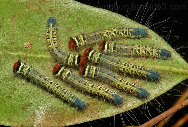 Trabala Lasiocampidae moth lappet caterpillar