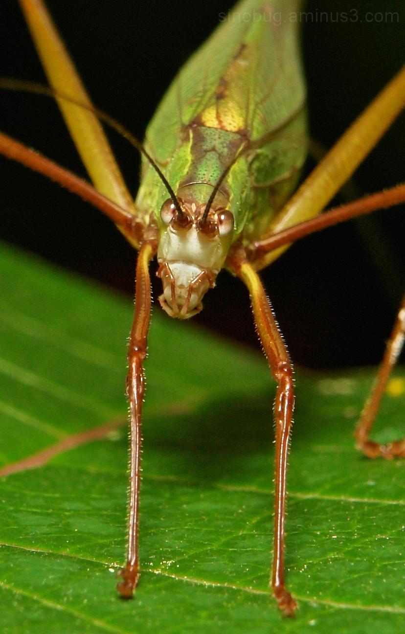 insect macro China Orthoptera katydid cricket bush
