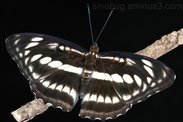 Staff Sergeant Athyma selenophora butterfly China