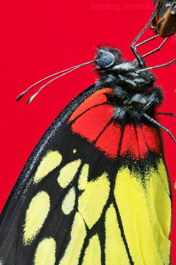 Redbase Jezebel Delias pasithoe butterfly China