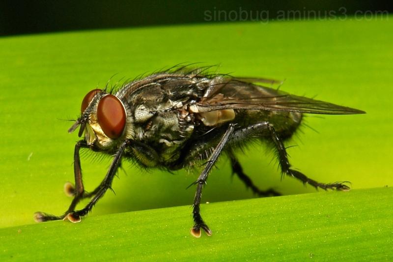 Flesh Fly Sarcophagidae Diptera China
