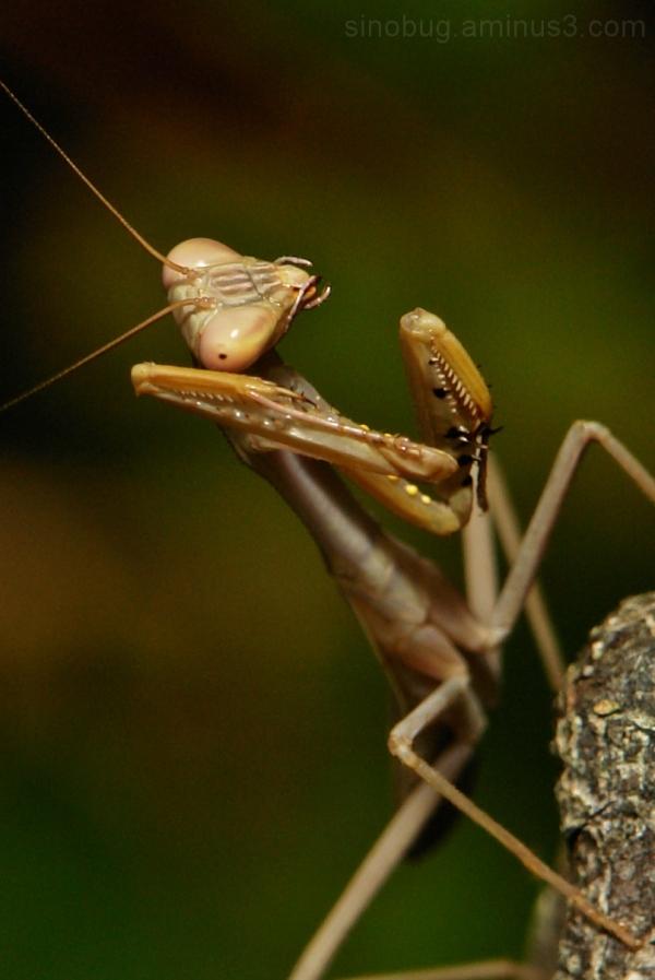 praying mantis China