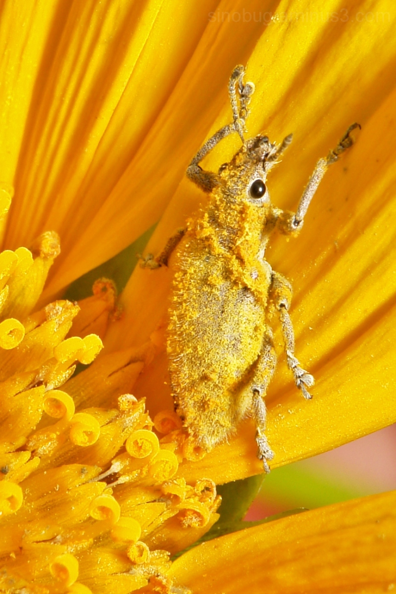Gold Dust Weevil Hypomeces squamosus
