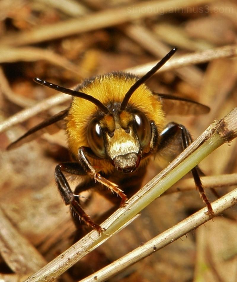 Bumble Bee Bombus Hymenoptera China