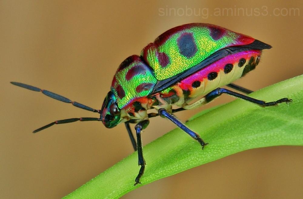 Lychee Shield Bug Chrysocoris stolli Scutelleridae