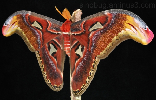 Male Atlas Moth Attacus atlas China
