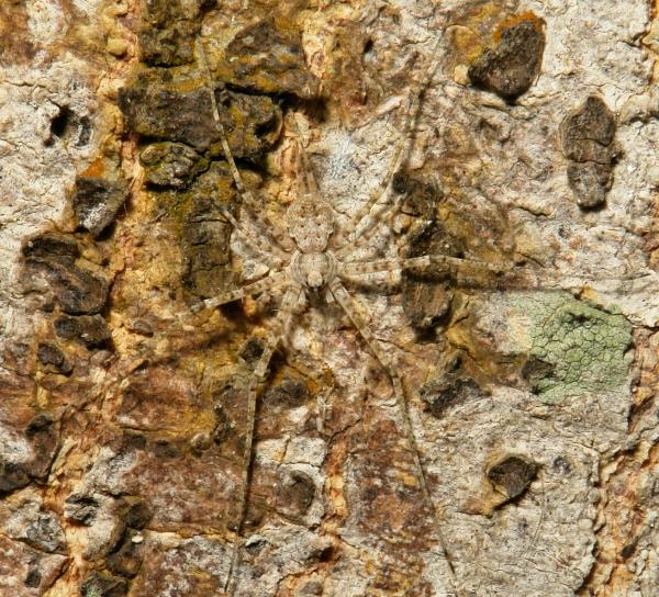 Long-spinnered Bark Spider Hersilia striata