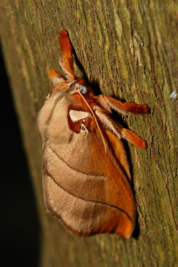 Cup Moth Mahanta Limacodidae