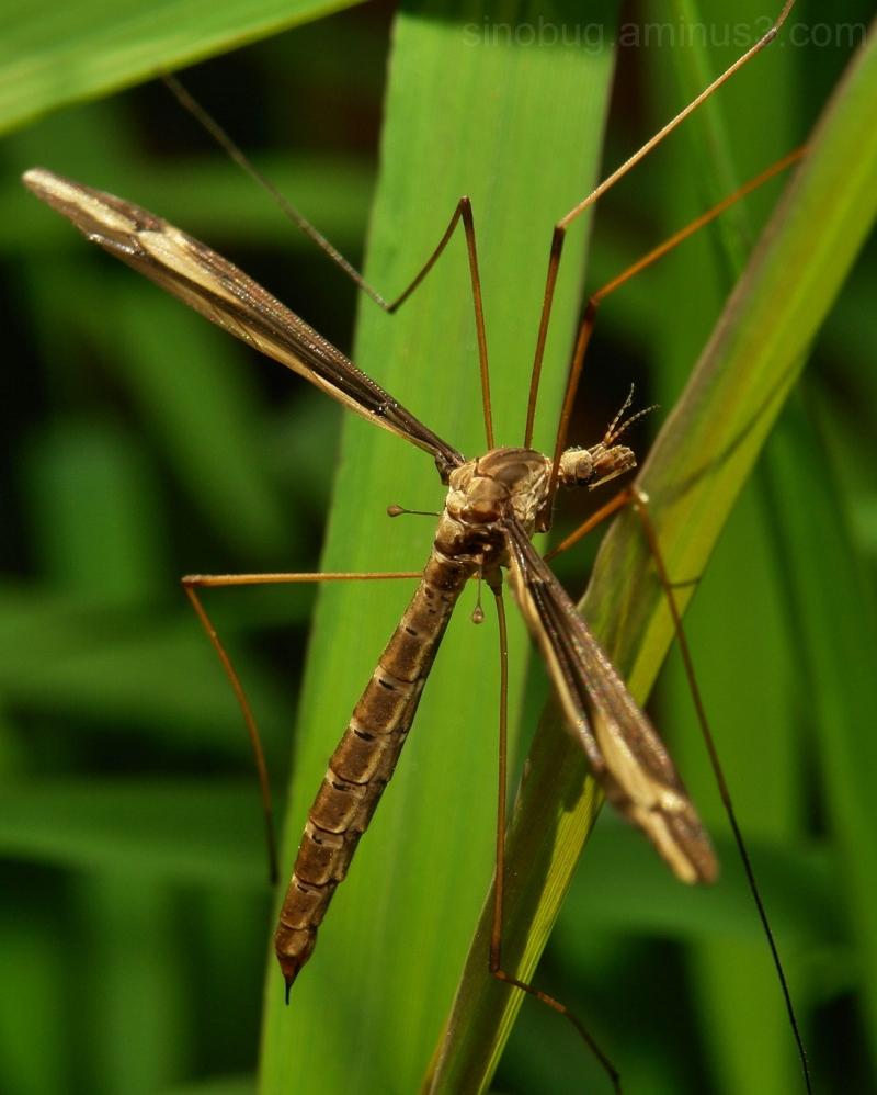 Crane Fly Tipulidae Diptera China macro