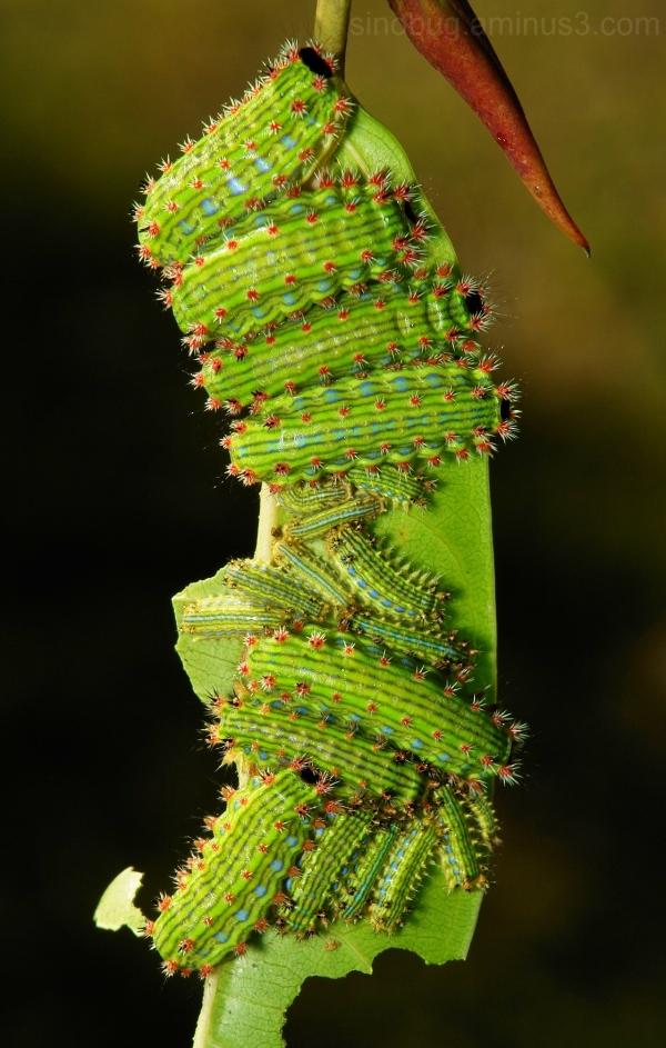Stinging Nettle Slug Caterpillar Limacodidae cup