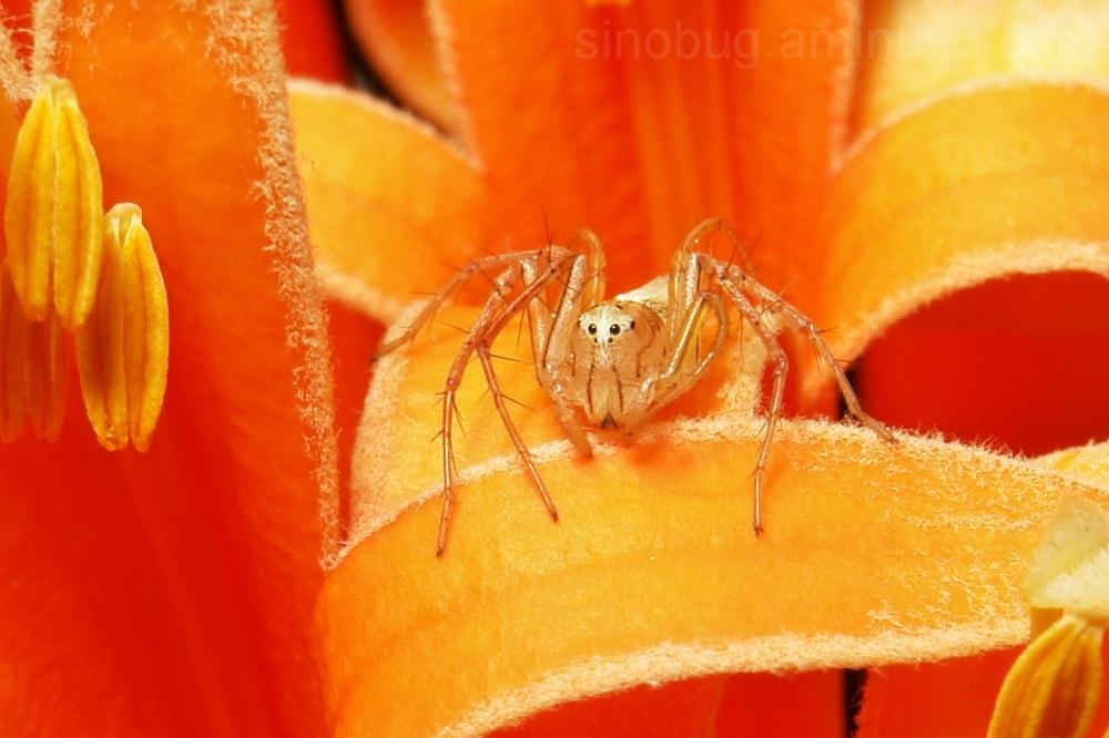 Lynx Spider Oxyopes arachnid Yunnan China