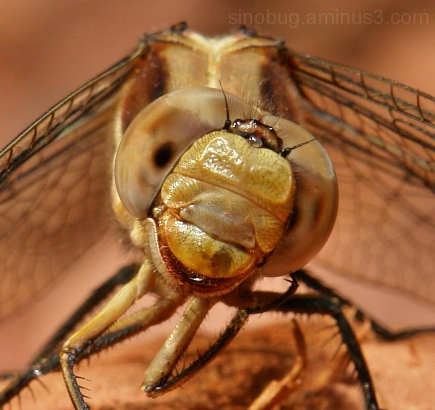 dragonfly macro head Yunnan China