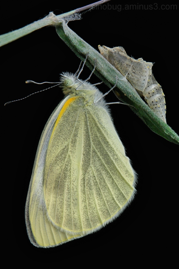 Asian Cabbage White Pieris canidia butterfly