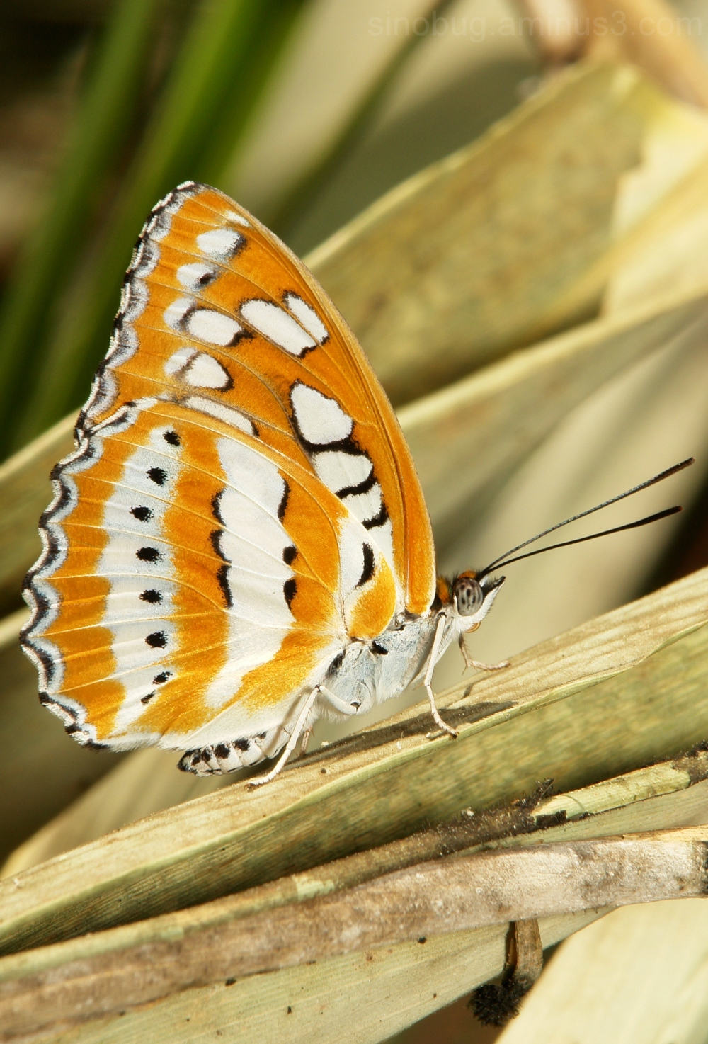 Common Sergeant Athyma perius butterfly