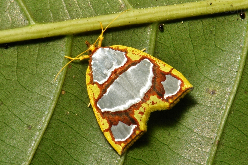 Nolid Moth Titulcia eximia Nolidae Chloephorinae