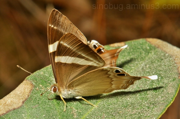 Tailed Judy Abisara neophron Riodinidae butterfly