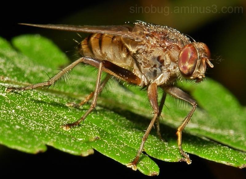 insect macro China fly Diptera eyes