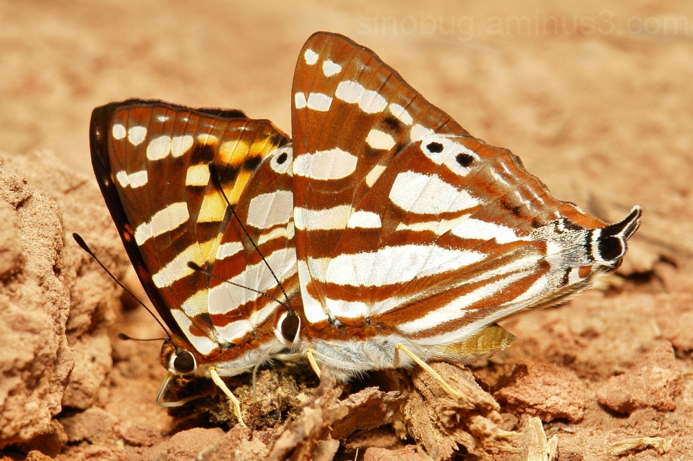 Orange Punch Dodona egeon Riodinidae butterfly