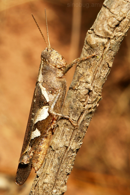 Xenocatantops humilis Catantopidae grasshopper