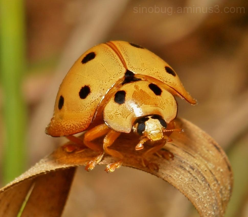 Lady Beetle Megalocaria dilatata Coccinellinae