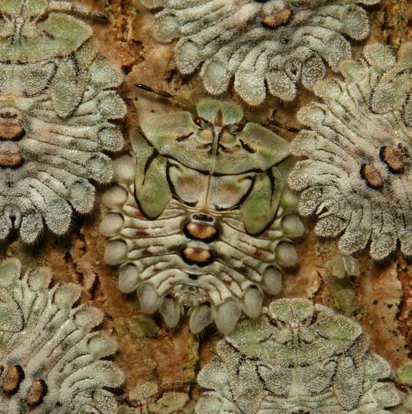 shield bug Hemiptera nymph