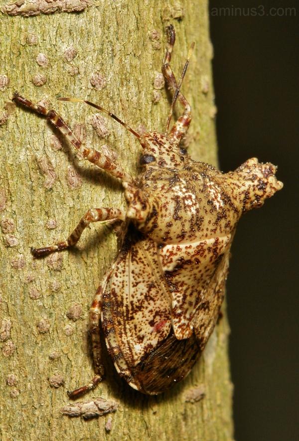 Pentatomidae bug Hemiptera