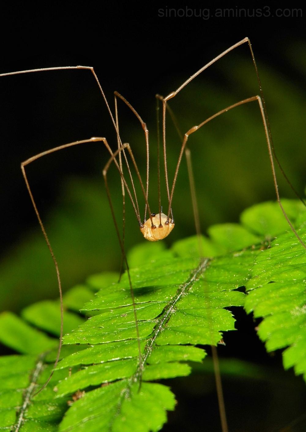 Harvestman Opiliones Eupnoi arachnid