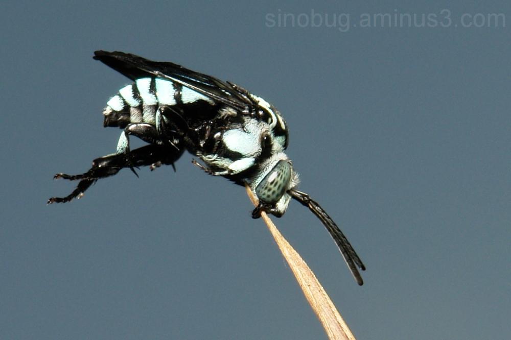 Cuckoo Bee Thyreus Hymenoptera