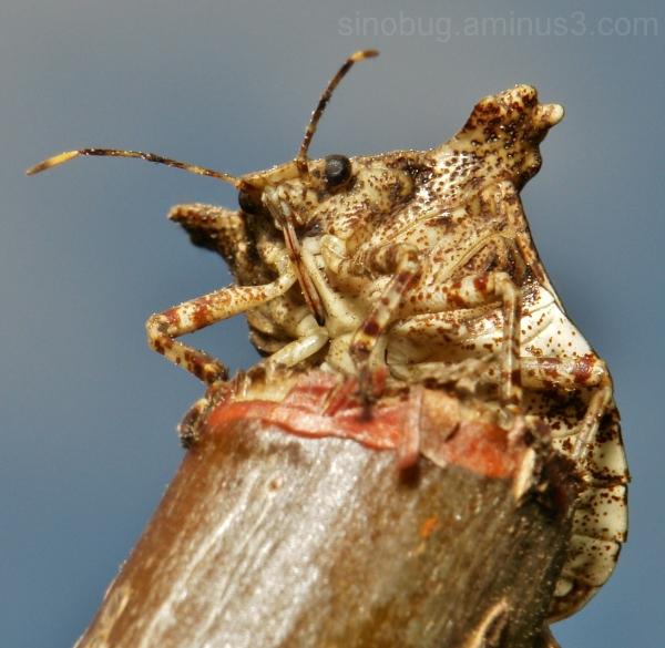 Pentatomid Bug Pentatomidae Hemiptera