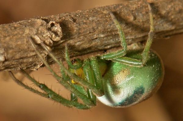 Spider Araneus pentagrammicus Araneidae China